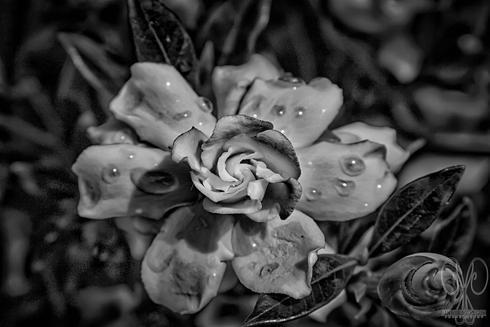 B&W in HDR of some macro flowers. via Janice McGregor
