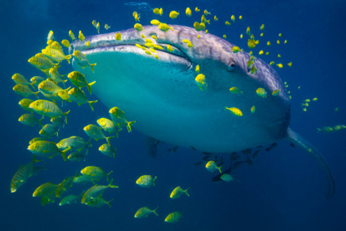 A whale shark cruises through the ocean with its entourage o... via Chris Rohner
