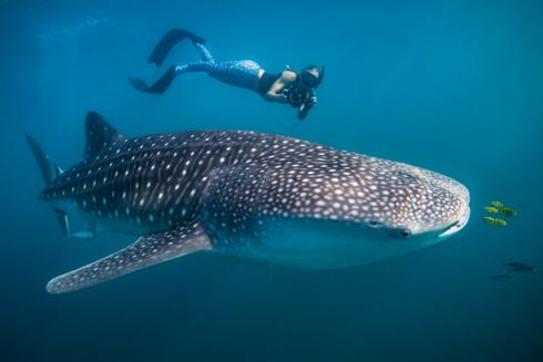 Whale shark encounter via Chris Rohner