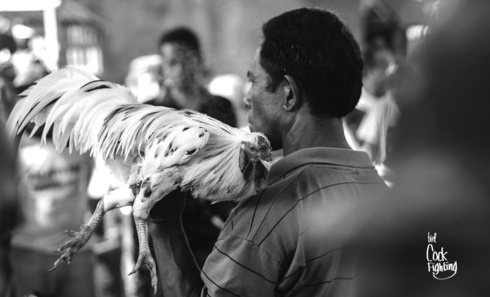 """Tajen"" (Cock Fighting)                                     A Balinese Hindu Ritual.                                                                          #cockFight... via Biel"
