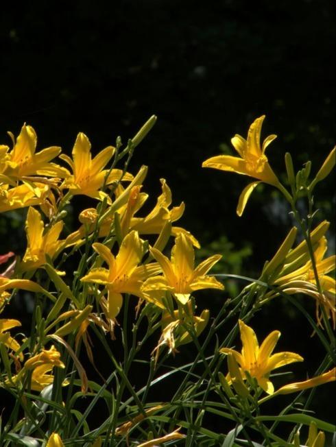 Summer day lilies via Melinda Stogsdill