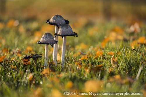 Hi friends.  Found a small patch of mushrooms mixed in with ... via JamesMeyerMedia