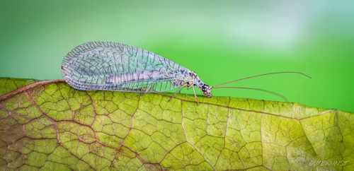 Macro of: green lacewing                                     A small green lacewing on a leaf. M... via Valentin Gutekunst