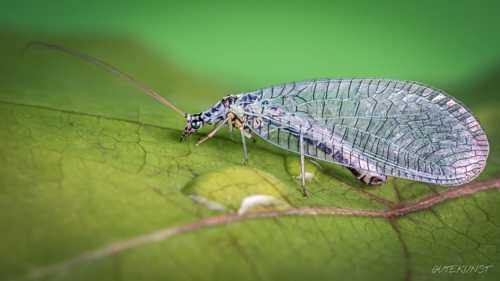 green lacewing n1                                     A small green lacewing on a leaf. Single i... via Valentin Gutekunst
